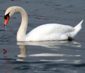 Врятованого на Рахівщині лебедя відпустять на волю